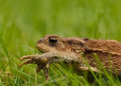 Erdkröte (Bufo_bufo)