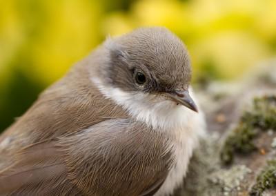 Dorngrasmücke, Jungvogel